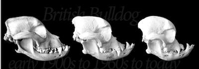 change-in-shape-of-the-bull-dog-skull