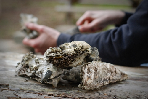 Oyster Shucking #8